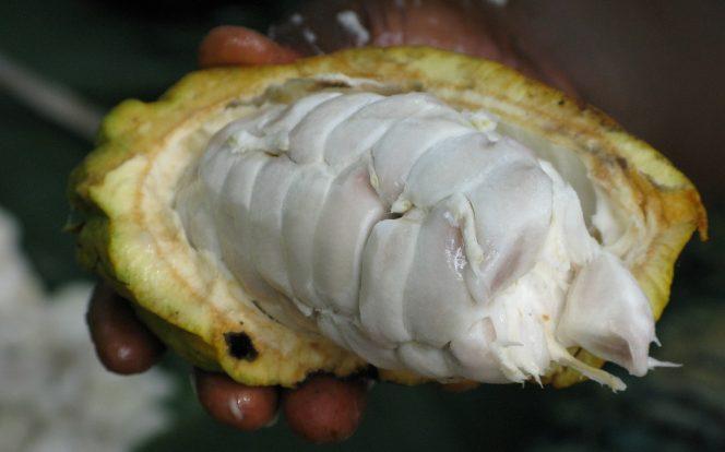 Uvnitř kakaového bobu