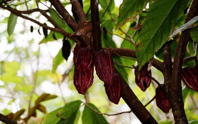 Kakaové boby na stromě